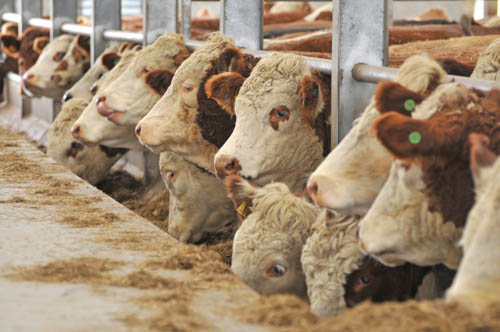 Europe's livestock industry depends on imports of feed materials from North and South America – Much of this material is derived from genetically modified maize and soya.